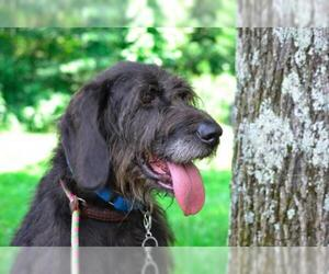 Irish Wolfhound Labrador Retriever Mix