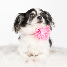 Chihuahua Dog For Adoption in St. Louis Park, MN