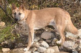 German Shepherd Dog Mix Dog For Adoption in Newport Beach, CA, USA