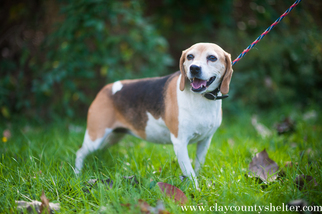 Beagle Dog For Adoption in Flora, IL