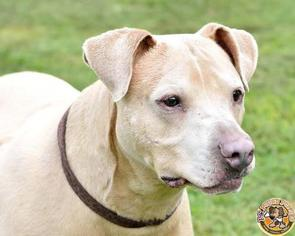American Staffordshire Terrier Mix Dog For Adoption in Mt Vernon, IN