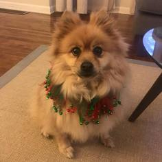 Pomeranian Dog For Adoption in Delaware, OH, USA