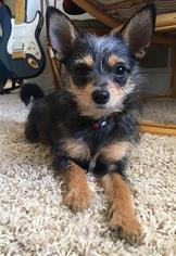 View Ad Chihuahua Mix Dog For Adoption Minnesota Maple Grove Usa