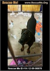 Chinese Shar-Pei Mix Dog For Adoption in Enid, OK