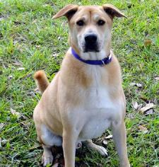 Chinese Shar-Pei-Labrador Retriever Mix Dog For Adoption in Sarasota, FL