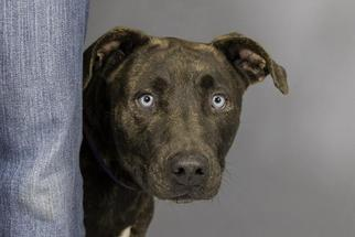 Catahoula Leopard Dog Mix For Adoption In West Palm Beach Fl Usa