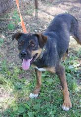 Olde Bulldog Dog For Adoption in Richmond, MO