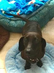 Dachshund Dog For Adoption in Dallas, TX