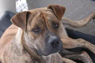 Mastiff Mix Dog For Adoption in Crossville, TN, USA