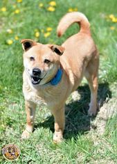 Shiba Inu Mix Dog For Adoption in Mt Vernon, IN, USA