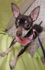 Chihuahua Mix Dog For Adoption in Columbia, TN