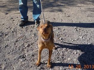 Doberman Pinscher Mix Dog For Adoption in Golden Valley, AZ, USA