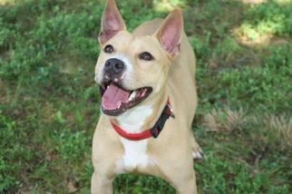Basenji-Bull Terrier Mix Dog For Adoption in New Monmouth, NJ, USA