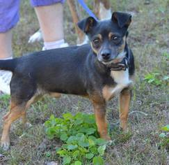 Chihuahua Mix Dog For Adoption in Brighton, TN