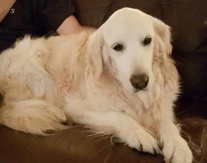 Golden Retriever Dog For Adoption in Naples, FL