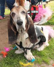 Basset Hound Dog For Adoption in Houston, TX, USA