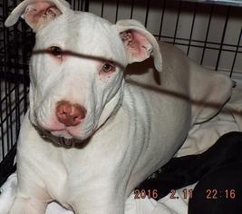 Borador Dog For Adoption in San Antonio, TX