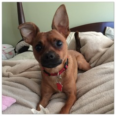 Chihuahua Mix Dog For Adoption in Holly Springs, NC, USA
