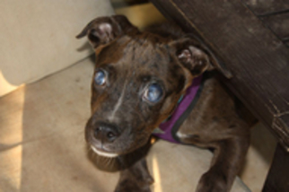 Catahoula Leopard Dog Mix Dog For Adoption in Philadelphia, PA