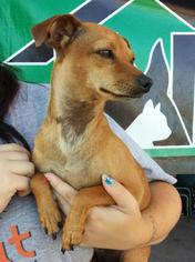 Chiweenie Dog For Adoption in Porter Ranch, CA, USA