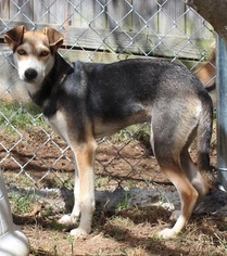 Italian Greyhound-Saluki Mix Dog For Adoption in Brownsboro, AL, USA