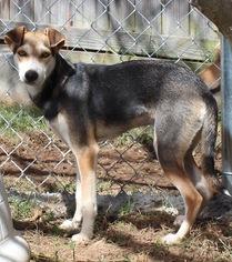 Italian Greyhound-Saluki Mix Dog For Adoption in Brownsboro, AL