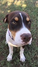 American Pit Bull Terrier Mix Dog For Adoption in Chandler, AZ, USA