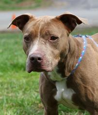 American Pit Bull Terrier Mix Dog For Adoption in Asheville, NC