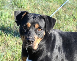 View Ad RottweilerAmerican Pit Bull Terrier Dog For Adoption - Terrier and rottweiler