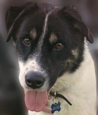 Akita Mix Dog For Adoption in Brownsburg, IN