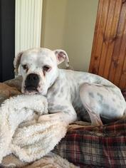 Boxer Dog For Adoption in Brentwood, TN, USA