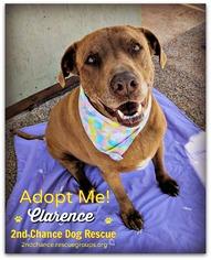 Labrador Retriever Mix Dog For Adoption in Queen Creek, AZ, USA