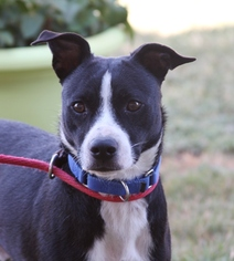 American Staffordshire Terrier Mix Dog For Adoption in San Antonio, TX