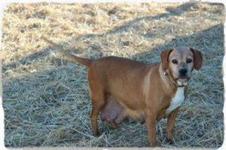 Beagle Mix Dog For Adoption in Marion, KY