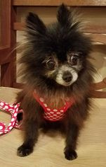 Pomeranian Dog For Adoption in Harrisburg, PA, USA
