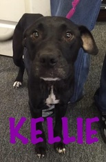 American Bulldog Mix Dog For Adoption in Waycross, GA, USA