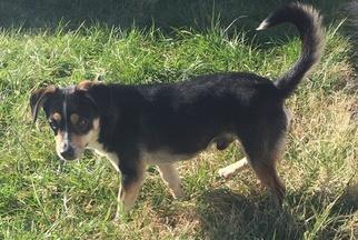 Beagi Dog For Adoption in VACAVILLE, CA