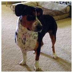 Beagle Dog For Adoption in Dallas, TX