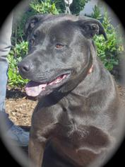 American Staffordshire Terrier-Labrador Retriever Mix Dog For Adoption in Atwood, CA