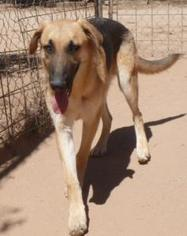 German Shepherd Dog Mix Dog For Adoption in Las Cruces, NM, USA