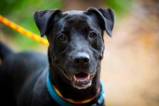 Chinese Shar-Pei-Labrador Retriever Mix Dog For Adoption in Rockaway, NJ, USA