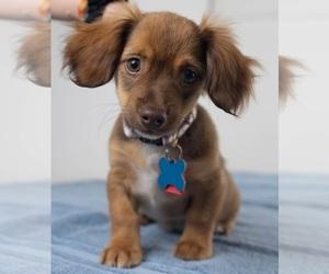 Puppyfinder com: Chiweenie dogs for adoption near me in