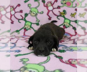 Beabull Dogs for adoption in Morton Grove, IL, USA