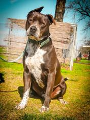 American Pit Bull Terrier-Pointer Mix Dog For Adoption in Lemoore, CA, USA