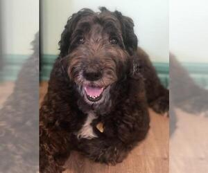 Sheepadoodle Dogs for adoption in Pacolet, SC, USA