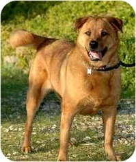 Chow Chow-Golden Retriever Mix Dog For Adoption in Newhall, CA, USA