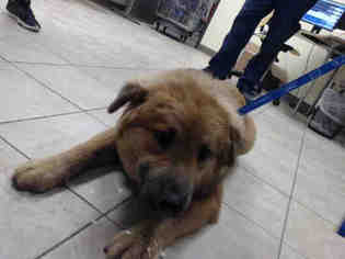 Puppyfinder com: Chow Chow dogs for adoption near me in Houston