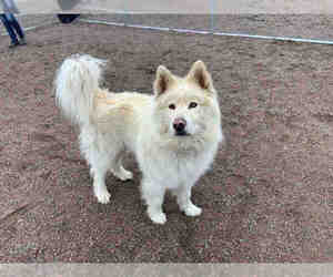 Alusky Dog For Adoption near 80601, Brighton, CO, USA