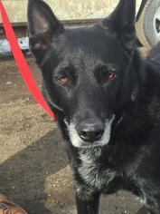 German Shepherd Dog Mix Dog For Adoption in Aurora, CO, USA