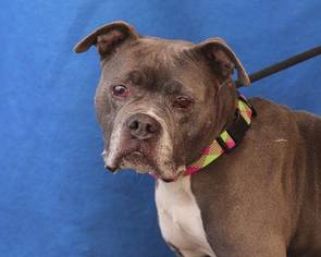 Bullboxer Pit Dog For Adoption in Pasadena, CA, USA